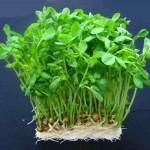 豆苗の栄養と効能や効果が凄い~豆苗のサラダは安くて栄養満点!~