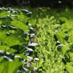 キャベツと白菜の栄養価は?効能や効果をみるとどっちも美容に最適^^