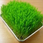 ウィートグラス栽培方法~種から簡単に育つ!ポイントは温度管理~